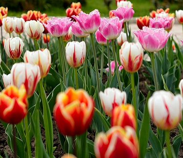 Tulips: the global symbol of speculative bubbles