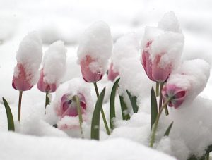 Cybercurrency: tulips in the snow